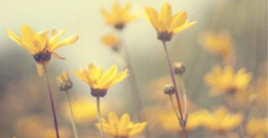Yellow_Daises